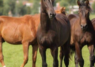 opfok paarden