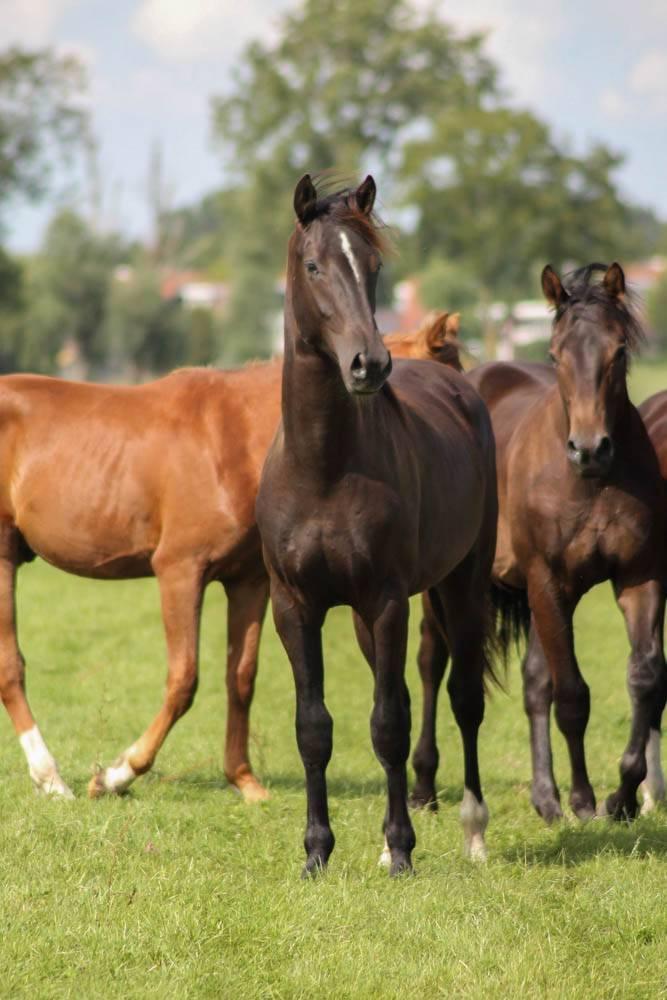 paarden opfok